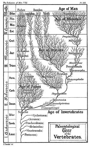 "Timeline of human evolution - Haeckel's Paleontological Tree of Vertebrates (c. 1879). The evolutionary history of species has been described as a ""tree"" with many branches arising from a single trunk. While Haeckel's tree is somewhat outdated, it illustrates clearly the principles that more complex modern reconstructions can obscure."