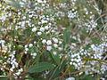Ageratina riparia flowerheads1 (11508534465).jpg