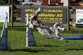Agility - Sprung Border Collie 2.jpg