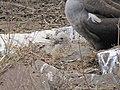 Albatross birds - Espanola - Hood - Galapagos Islands - Ecuador (4871678274).jpg