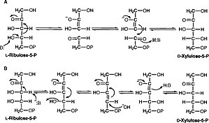 L-ribulose-5-phosphate 4-epimerase - Image: Aldol