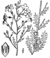 Aliciella pinnatifida drawing.png