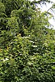 All Saints Church, Nazeing, Essex, England ~ hedge oposite churchyard at east.JPG