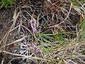 Allium kiiense kiiitorkkou11.jpg