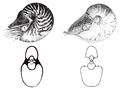 Allonautilus vs Nautilus.png
