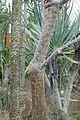 Alluaudia humbertii -Jardin des plantes de Nantes (1).jpg