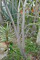 Alluaudia humbertii -Jardin des plantes de Nantes (2).jpg