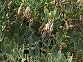 Alm10ZygophyllumFabagoFrüchte2.jpg