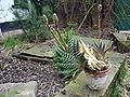 Aloe variegata 2.jpg