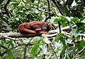 Alouatta seniculus sleeping.jpg