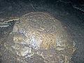 Altar Cave - travertine stalagmite (San Salvador Island, Bahamas) 5 (16206179797).jpg