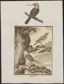 Amadina maja - 1700-1880 - Print - Iconographia Zoologica - Special Collections University of Amsterdam - UBA01 IZ15900173.tif