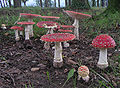 Amanita muscaria in a group.jpg