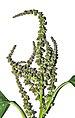 Amaranthus viridis flower 28042014.jpg