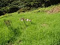 Amaryllis belladonna L. (AM AK302115).jpg