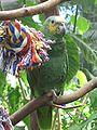 Amazona amazonica -Victoria Butterfly Gardens-8a.jpg