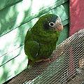 Amazona ventralis -Dominican Republic-4a-4c.jpg