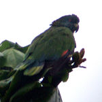 A green parrot with a dark-blue head, and a black forehead and wing-tips