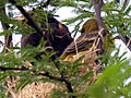 American Redstart Youngs on Edge of Nest 8 Jun 05b (18427830).jpg