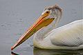 American White Pelican (5935881220).jpg