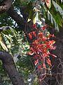 Amherstia nobilis (2369714639).jpg