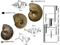 Ammonites main sutural patterns.PNG