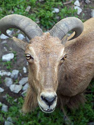 Wildlife of Algeria - Barbary sheep