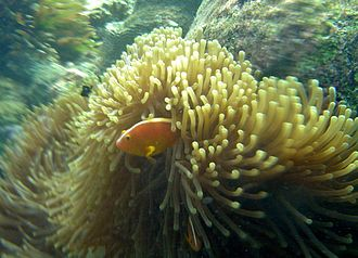 Heteractis magnifica - Image: Amphiprion akallopisos Aldabra