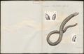 Amphisbaena alba - 1700-1880 - Print - Iconographia Zoologica - Special Collections University of Amsterdam - UBA01 IZ12300134.tif