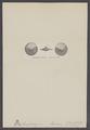 Amphistegina haueri - - Print - Iconographia Zoologica - Special Collections University of Amsterdam - UBAINV0274 007 04 0049.tif