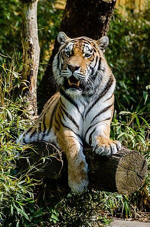 Siberian tiger - Captive Siberian tiger