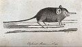 An elephant shrew with a long proboscis. Etching by P. Mazel Wellcome V0020902.jpg