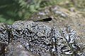 An exhausted insect takes a quick break among rocks in Parway Falls, Catanduanes.jpg