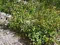 Anaphalis royleana var. concolor Hook.f. (7813373346).jpg