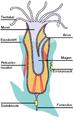 Anatomie eines Moostierchens.png