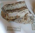 Anchitherium aurelianense 1.jpg