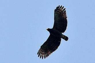 Andaman serpent eagle - Image: Andaman Serpent Eagle flight