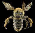 Andrena cornelli, F, Back, VA, Gales County 2014-01-24-18.22.19 ZS PMax (13043045053).jpg
