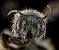 Andrena geranii, F, Face, MD, Calvert County 2013-06-17-16.14 (37205615712).jpg