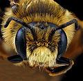 Andrena rudbeckiae.jpg
