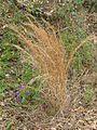 Andropogon virginicus plant late flower1 (6948585221) (2).jpg
