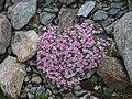 Androsace alpina 2172.JPG