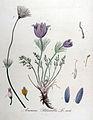 Anemone pulsatilla — Flora Batava — Volume v11.jpg