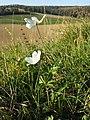 Anemone sylvestris sl29.jpg