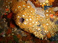 Anemones on red bait at North Friskies P5197837.JPG
