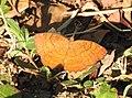 Angled Castor Ariadne ariadne by Raju Kasambe DSCN2965 (3).jpg