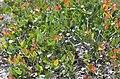 Angophora hispida DSC 4414 (8551194504).jpg