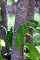 Annona-reticulata-(2).jpg