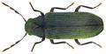 Anobium punctatum (DeGeer, 1774) (7195681484).png