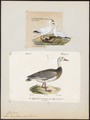 Anser hyperboreus - 1700-1880 - Print - Iconographia Zoologica - Special Collections University of Amsterdam - UBA01 IZ17600149.tif